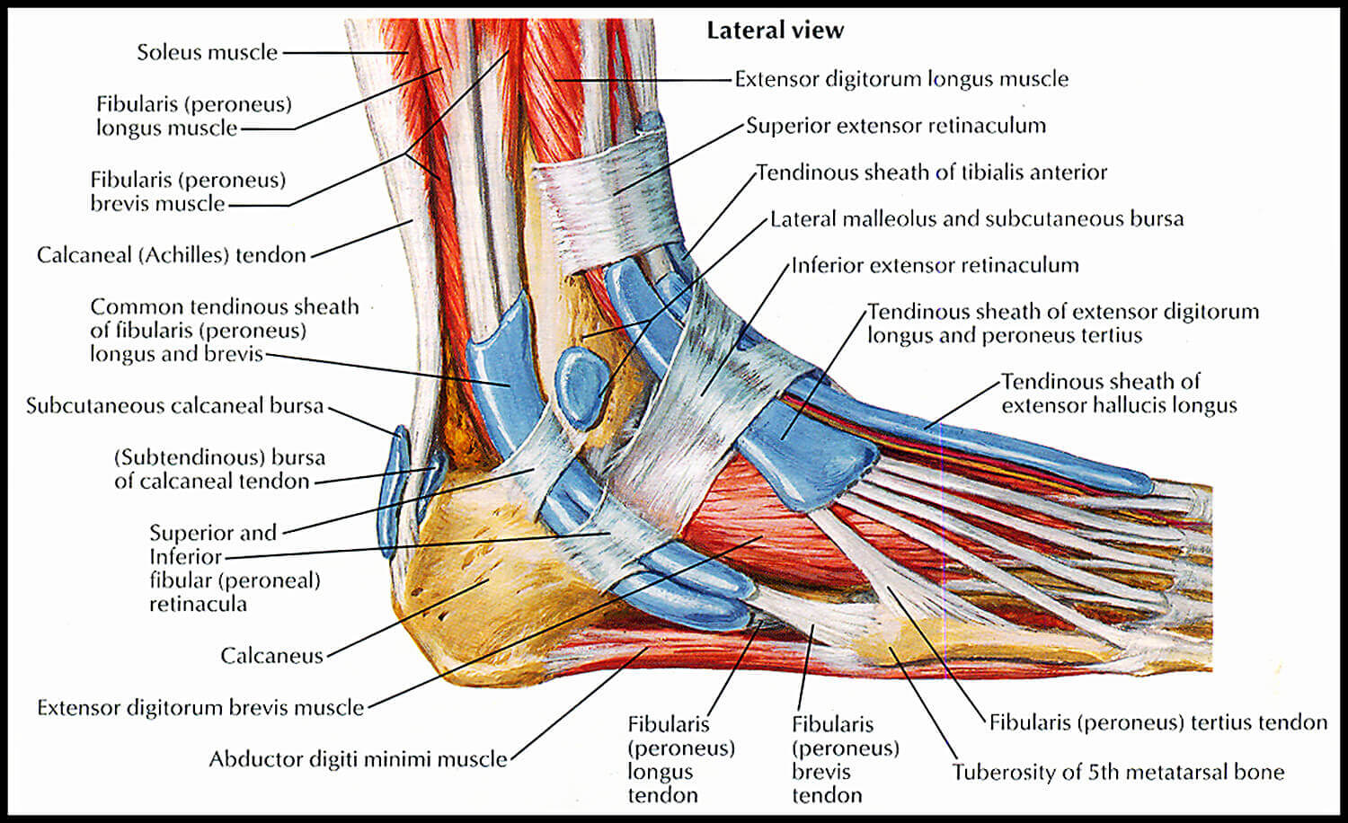 Pain In Your Heel & Ankle? They might be related...or not